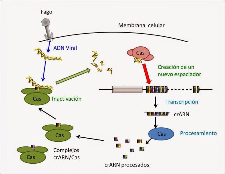 Qué es la tecnología CRISPR/Cas9 y cómo nos cambiará la vida? | Dciencia