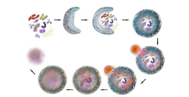 Físicos y biólogos unen fuerzas para desvelar los mecanismos de la autofagia