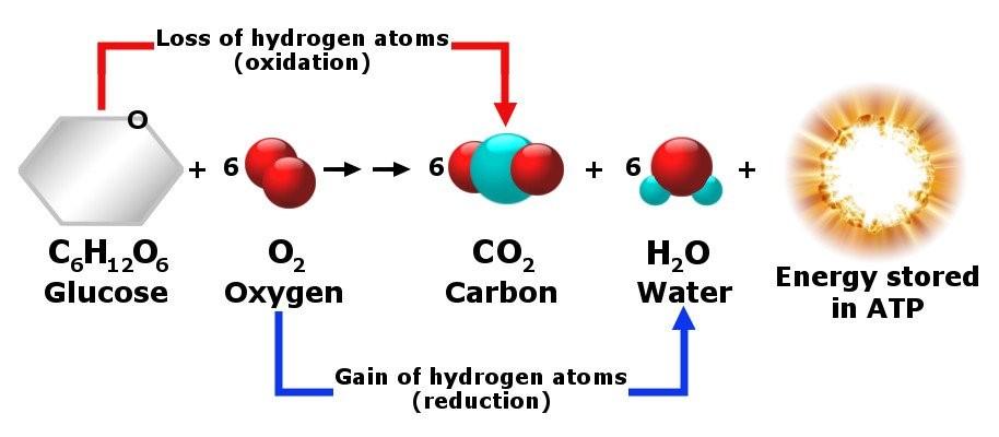 funcionamiento del nitrogeno linear unit el organismo humano