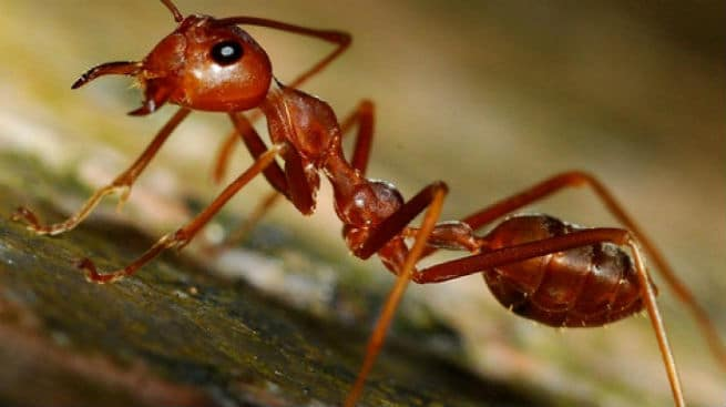 calor hormigas